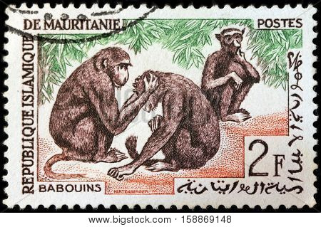 LUGA RUSSIA - NOVEMBER 06 2016: A stamp printed by MAURITANIA shows three Guinea baboons from the Old World monkey family circa 1963