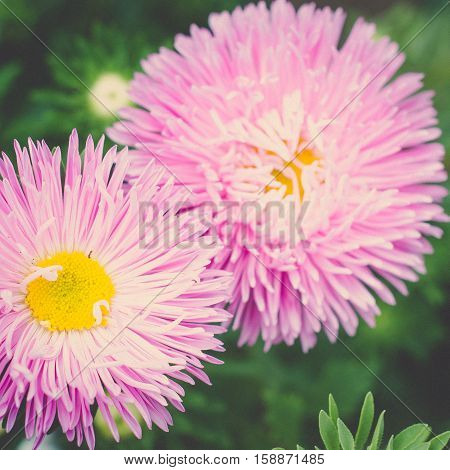 Small garden pink Astra flowers. Group of Alpine asters. Aster Alpinus
