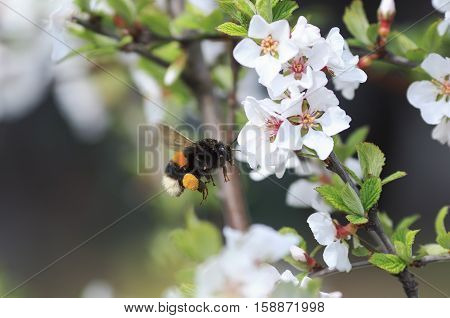 thick shaggy bumblebee flying toward a blossoming branch of Apple tree in spring garden