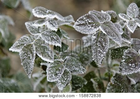 Frozen green leaves of rosebush covered by hoarfrost close up on the blurred background