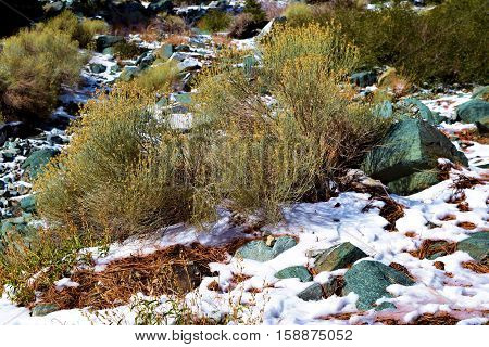 Sage Plants surrounded with snow taken in Mt Baldy, CA