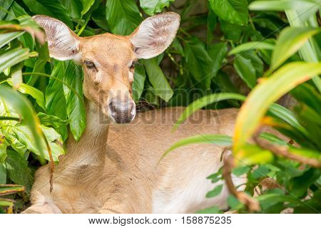 Close-up detail of a doe sitting among the leaves of a tree. Nature and conservation concept.