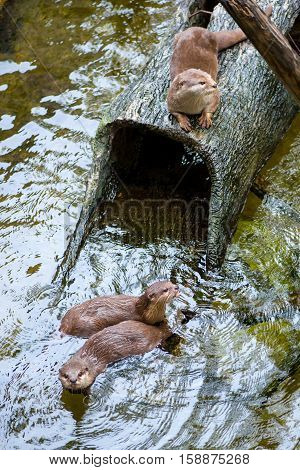 Multiple Oriental small-clawed otters (Aonyx cinerea) swimming in a pool with a hollow log. Animals and conservation concept.