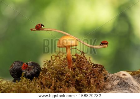 closeup two ladybugs swinging on the branch on the mushroom Armillaria and one ladybug on berry aronia on green background