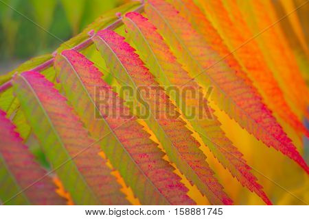 The branches of staghorn sumac fall close-up.The leaves of this tree was colorful autumn.You can see the entire color spectrum.
