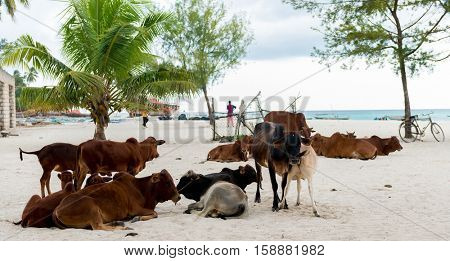 african cows resting on a beach in Zanzibar, Africa