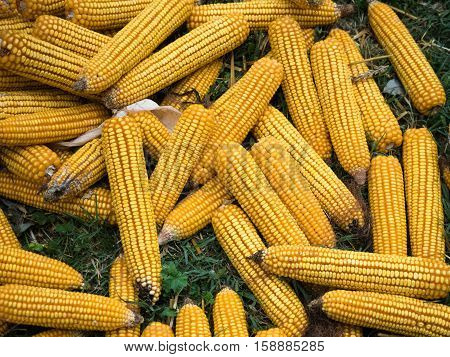 Background of the golden maize cobs on the green grass. Yellow maize cobs pattern on the green grass.