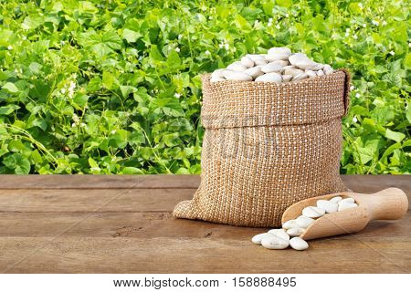 Butter beans or lima beans in burlap bag with wooden scoop. Dry white beans in burlap sack on table with green blooming field of beans on the background. Agriculture and harvest concept. Photo with copy space area for a text