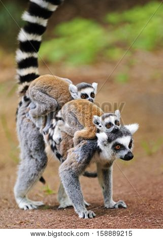 Portrait of adult lemur katta (Lemur catta) with two cubs