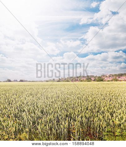 green spring grains, wheat ears on field of rye with sky