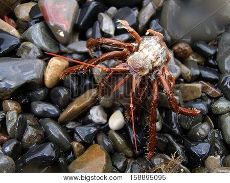 Hermit Crab (Paguroidea) on the wet stones. Without shell. Summer. Black Sea.