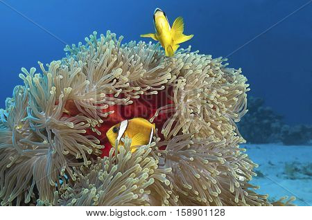 Anemone fish over red sea anemone.