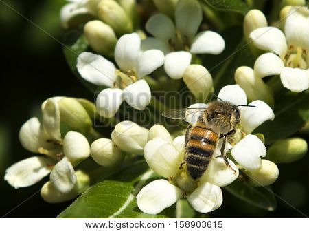 European honey bee (Apis mellifera) gathering pollen, Honey Bee harvesting pollen from white Blossom, honeybee, honey bee. Malta flora. malta nature. Malta insects