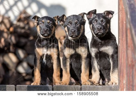 Three belgian shepherd puppys closeup
