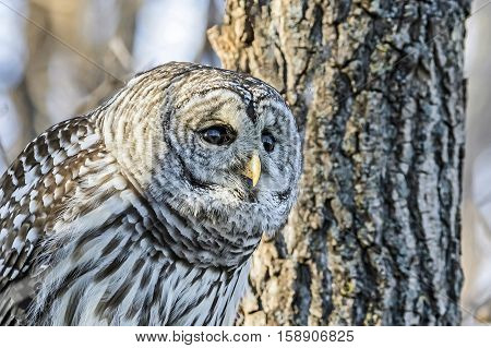 A close up of the the barred owl which is a large typical owl native to North America.