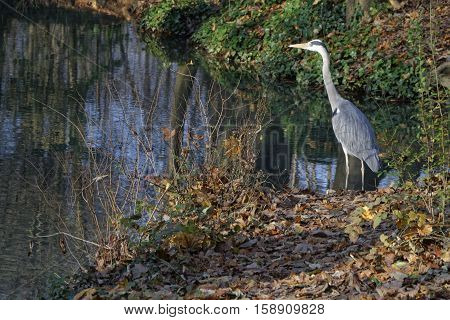 Lyon, France, November 29, 2016 : A Free Heron In Parc De La Tete D'or. The Park Is One Of The Great