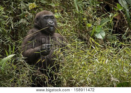 Beautiful and wild lowland gorilla in the nature habitat in Africa