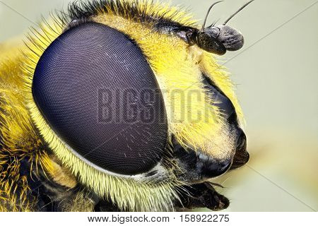 A macro image of a hoverfly ( flower insect). November 2016