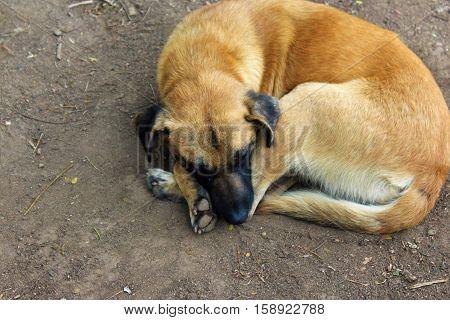 Abandoned mutt dog sleeping on dirt floor