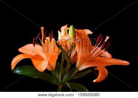 Orange lily flower isolated on black background.