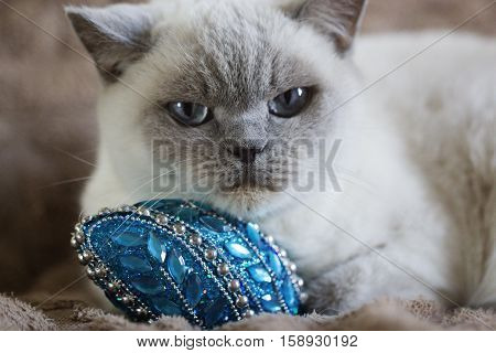 British white cat. British white cat with Christmas toy. British white cat with blue eyes