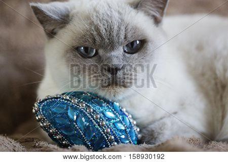 British white cat. British white cat with Christmas toy. British white cat with blue eyes
