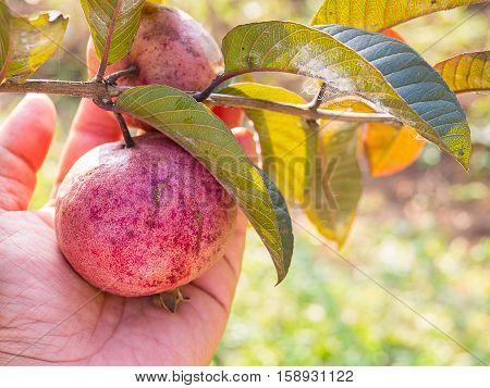 Origanic Red Guava Skin.