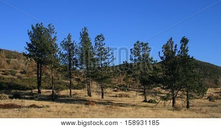 Pine trees in an alpine meadow, California