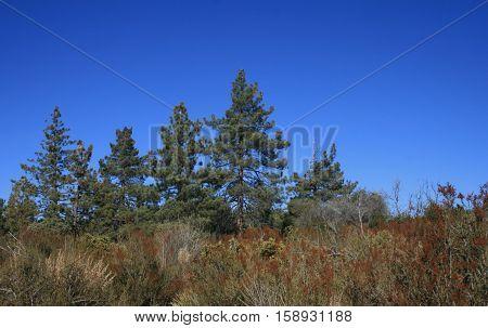 Pine trees on a ridge, Mt. Laguna, CA