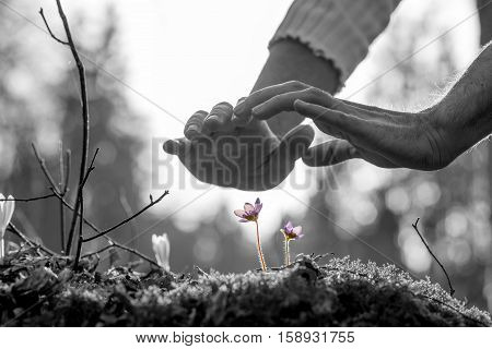 Hands nurturing a small spring flower on a moss covered rock in a conceptual image with selective purple colors to the flowers.