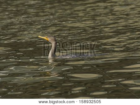 A Double-Crested Cormorant (Phalacrocorax auritus), a diving bird, pauses between dives to search for fish.