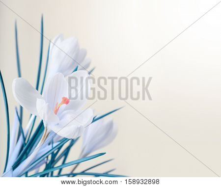 spring white crocus flower bouquet