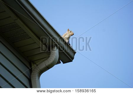 An eastern gray squirrel (Sciurus carolinensis) surveys the landscape from the gutter on the roof of a house in Joliet, Illinois.