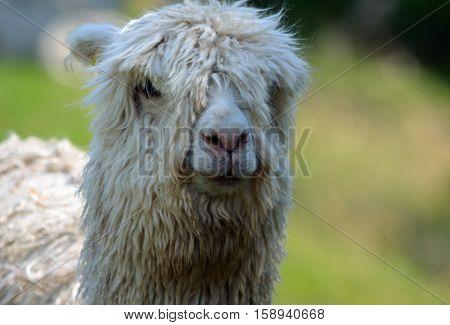 A Close up of white Alpaca head.