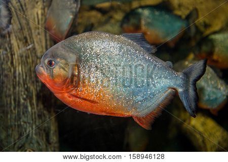 piranha fish swimming in an aquarium close up shot