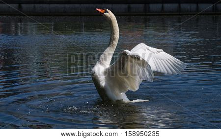 A swans spread its beautiful wings. Spread wings