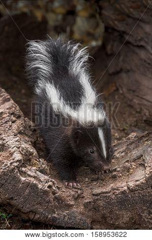 Striped Skunk (Mephitis mephitis) Kit Creeps Out of Log - captive animal