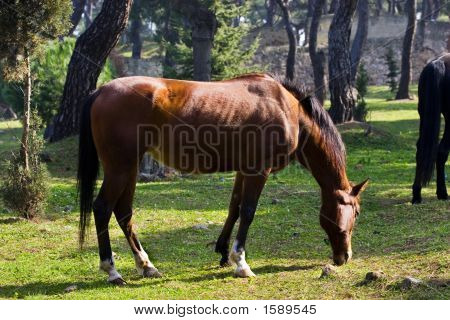 Young brown horse eating grass in forest poster