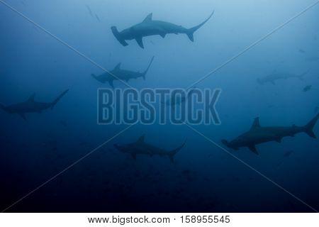 School Of Hammerhead Sharks