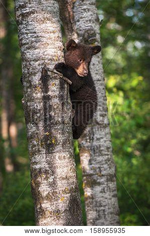 Black Bear (Ursus americanus) Cub Clings to Tree Trunk - captive animal
