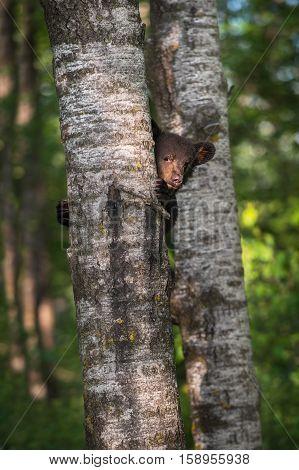 Black Bear (Ursus americanus) Cub Looks Around Tree Trunk - captive animal