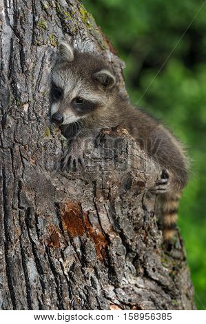Young Raccoon (Procyon lotor) Sits on Side of Tree - captive animal