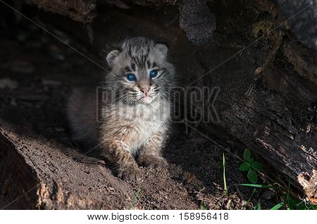 Bobcat Kitten (Lynx rufus) Sits Alone in Log - captive animal