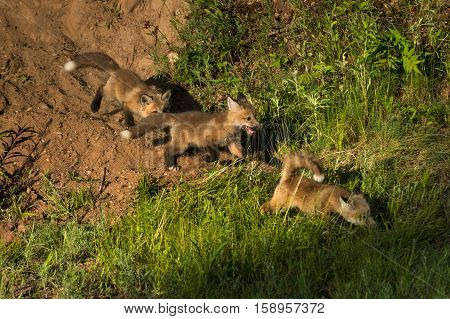 Three Red Fox Kits (Vulpes vulpes) Run to the Right - captive animals