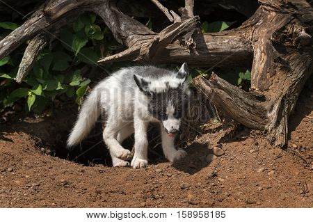 Marble Fox (Vulpes vulpes) Emerges From Den - captive animal
