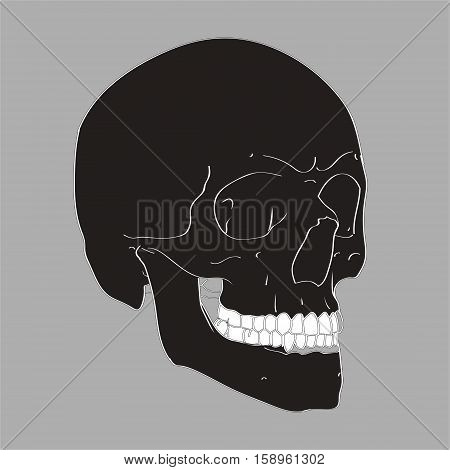 Realistic Hand Drawn Vector Skull on gray background. Human Skull Vector Illustration for medical, Halloween or tattoo design.