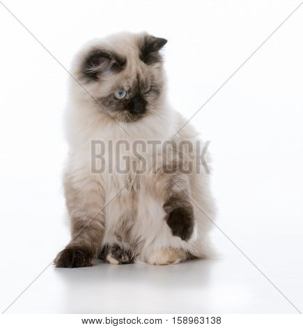 young ragdoll cat sitting one white background