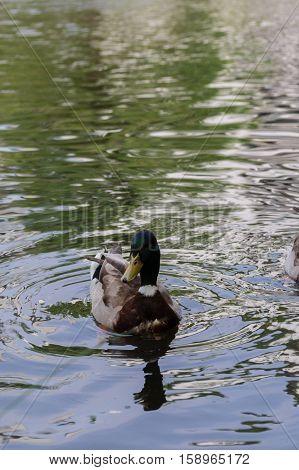 Portrait of a beautiful Mallard Duck at the Lake