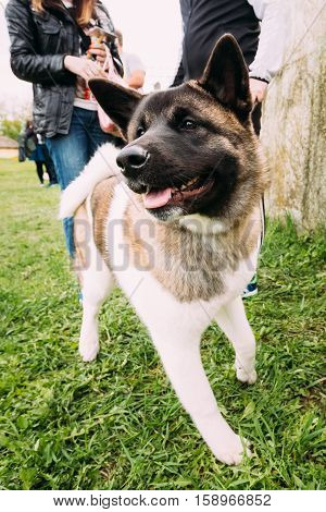 American Akita Dog Standing Near Feet In Green Grass, In Park Outdoor. Photo Shot On The Wide-angle Lens.