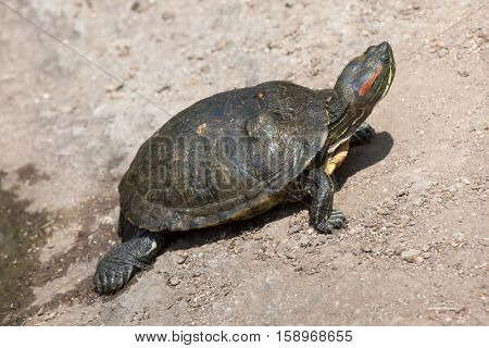 Red-eared slider (Trachemys scripta elegans), also known as the red-eared terrapin.